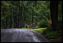 A doe and her fawn stop to look at the photographer on Western Loudoun's historic dirt road known as Woodtrail Road outside of the Village of Unison. (Photo by Douglas Graham/WLP)