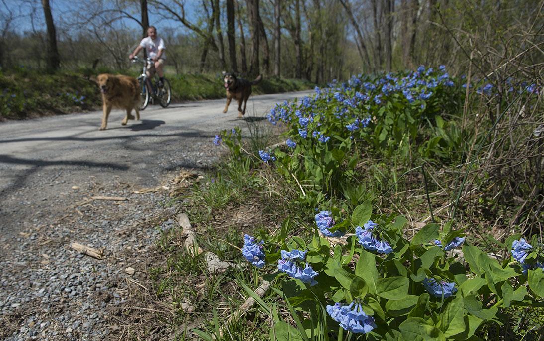 Spring Virginia Bluebells